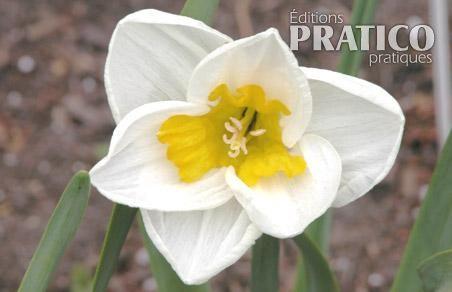 Narcisse 'Tricolet'