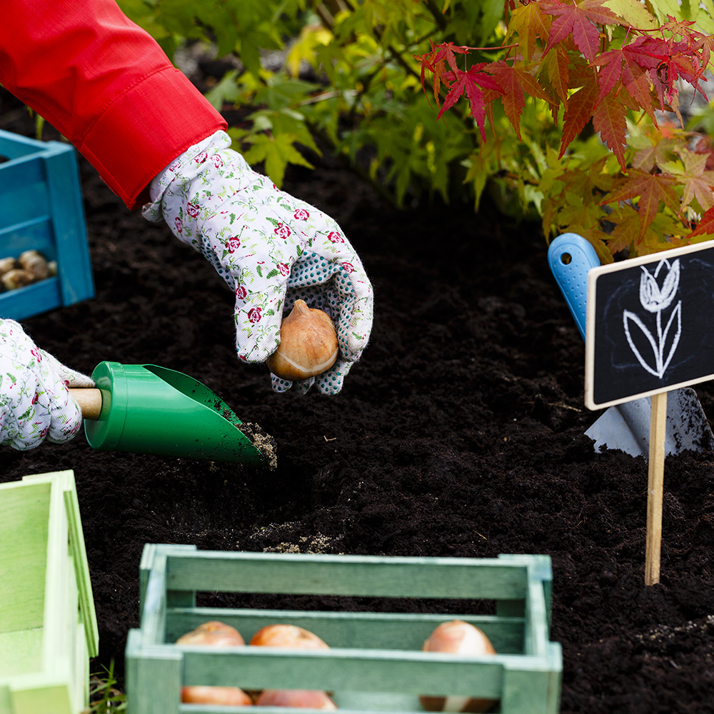 Comment planter des bulbes à l'automne