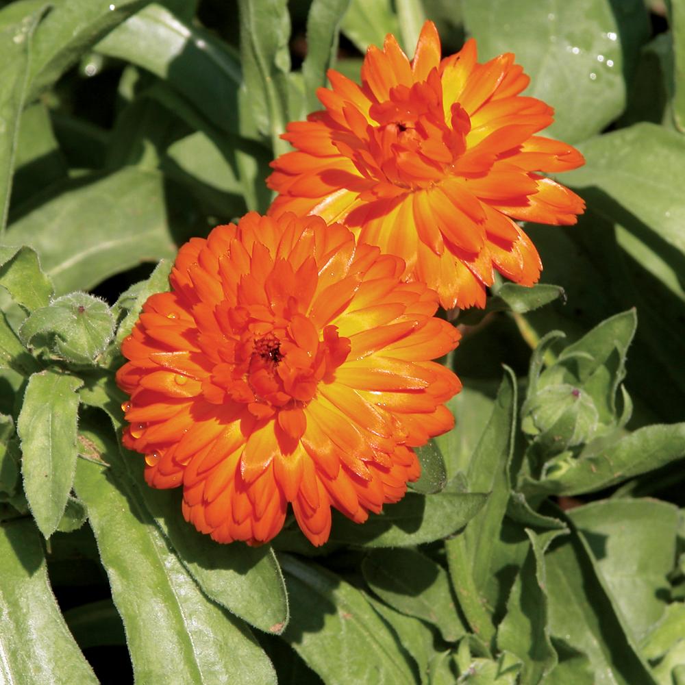 Les plantes qui repoussent les insectes nuisibles je jardine - Insectes nuisibles du jardin ...