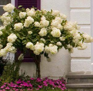 Hydrangée paniculée à grandes fleurs