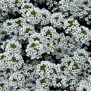 Alyssum annuel 'Snow Princess'
