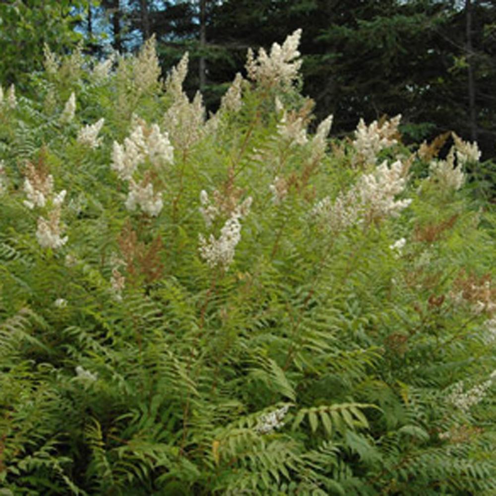 Sorbaria à feuilles de sorbier