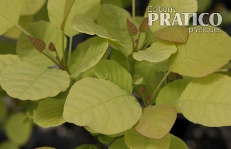 10 arbustes au feuillage coloré