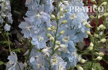Pied-d'alouette 'Magic Fountains Bleu Ciel'