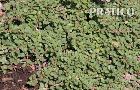 Cotoneaster 'Little Gem'
