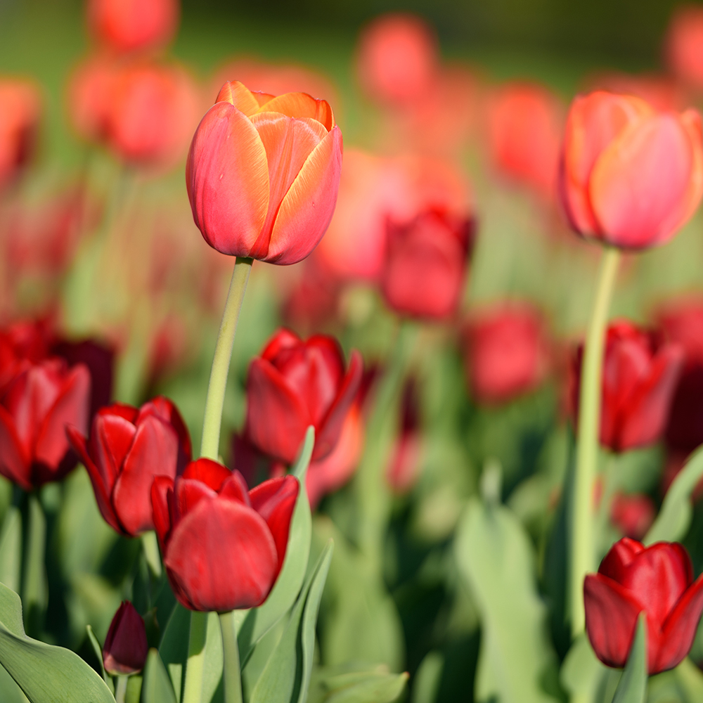Le meilleur moment pour planter des tulipes et autres bulbes du printemps