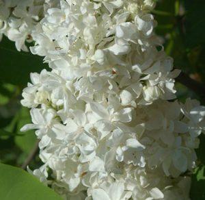 Lilas des jardins 'Mme Lemoine'