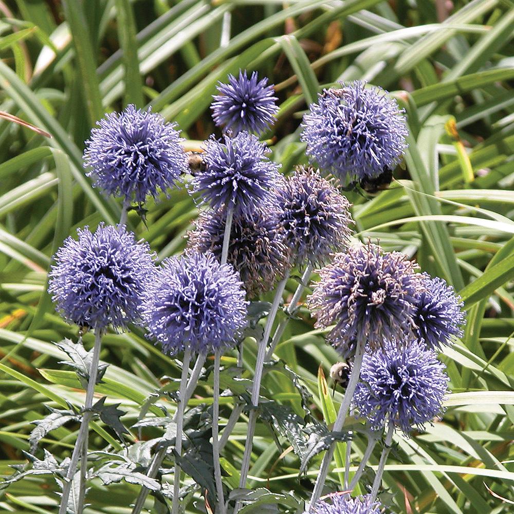 Boule azurée 'Veitch's Blue'