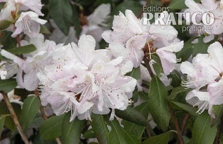Rhododendron 'April Dawn'