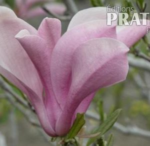 Magnolia 'Ann'