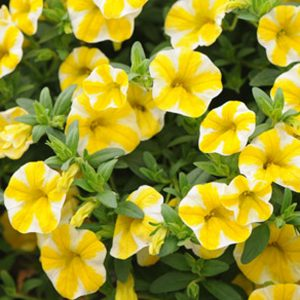 Calibrachoa 'Superbells Lemon Slice'
