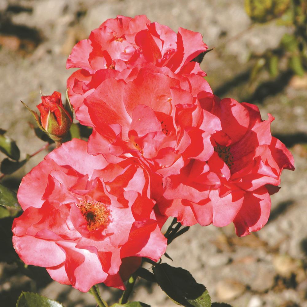 comment tailler les fleurs fan es sur un rosier je jardine. Black Bedroom Furniture Sets. Home Design Ideas