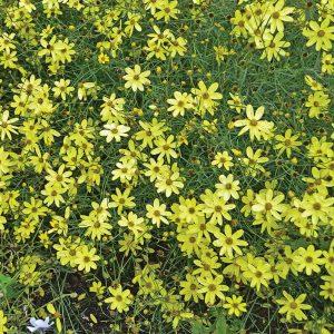 Coréopsis verticillé 'Moonbeam'