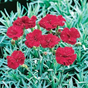 Dianthus 'Frosty Fire'