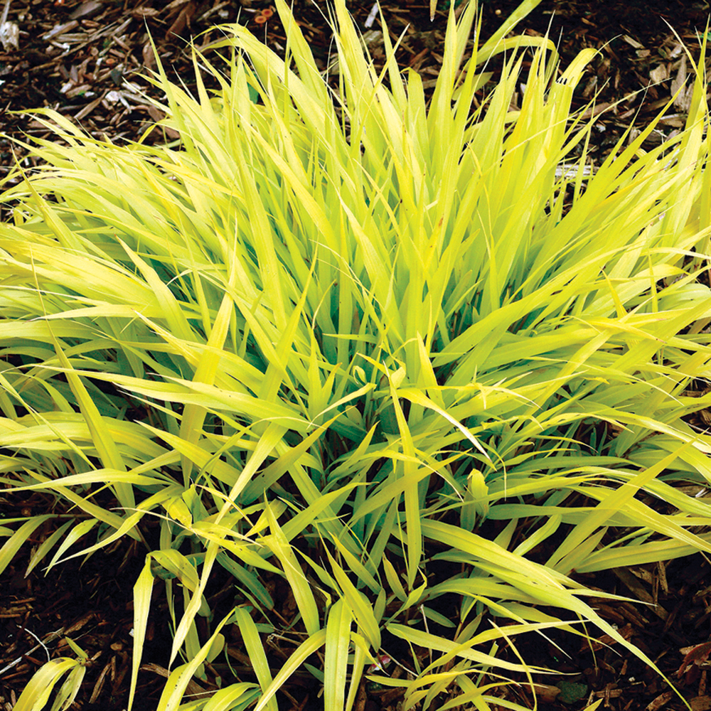 Herbe du Japon 'All Gold'
