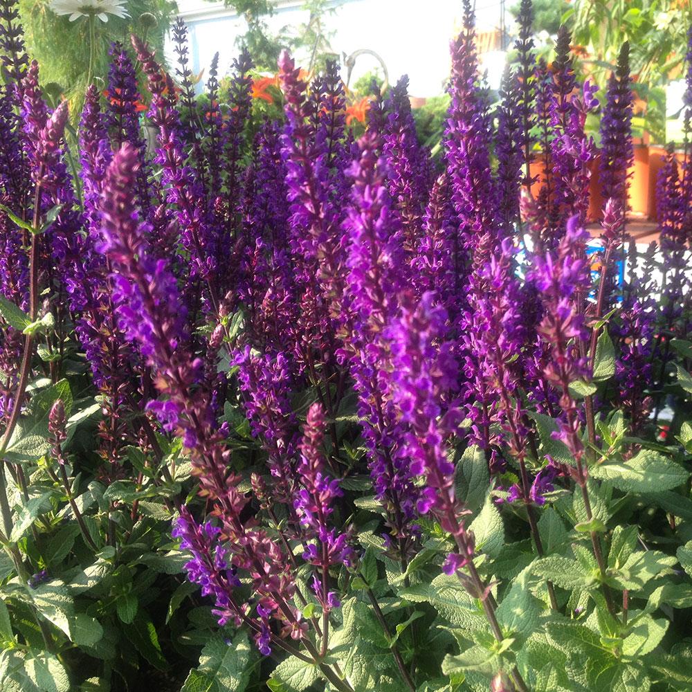 Les sauges Salvia 'Caradonna'