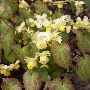 Epimedium x versicolor 'Suphurum'