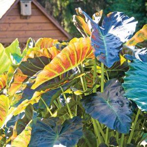 Colocasia esculenta Royal Hawaiian ® Aloha Oe