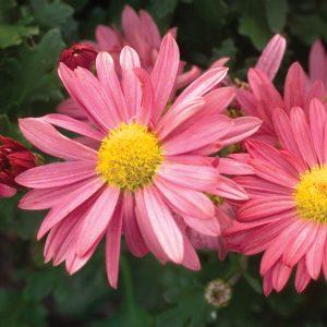 Chrysanthème d'automne Mammoth ™ Dark Pink Daisy