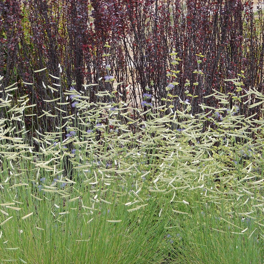 Bouteloua ou herbe à moustique
