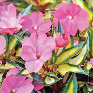 Impatiente de Nouvelle- Guinée 'Compact Tropical Rose'