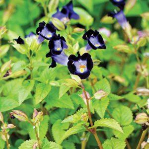 Torénie Summer Wave Bouquet® Deep Blue