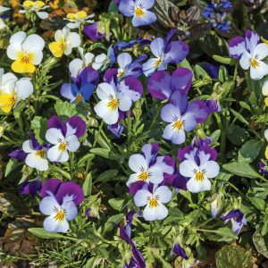 Pensée 'Viola Tricolor'