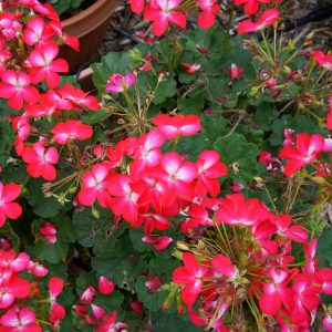 Géranium zonal 'Tango™ Bicolor Cherry'