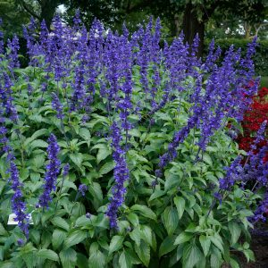 Salvia Mystic Spires Improved 'Balsalmispim'