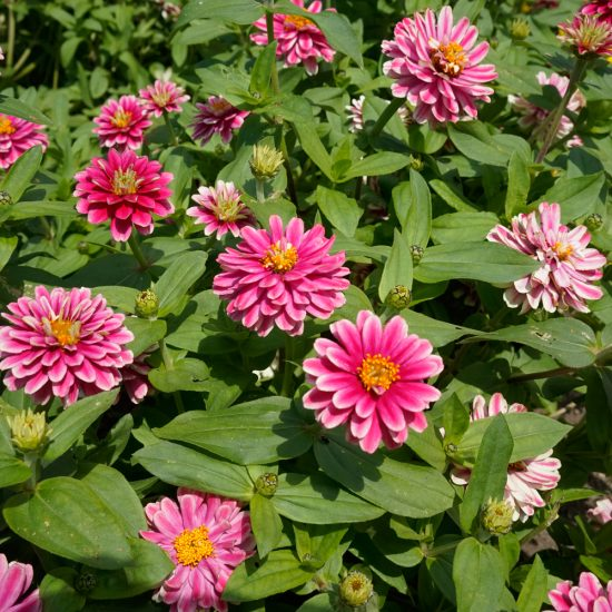Zinnia marylandica Double Zahara™ Raspberry Ripple