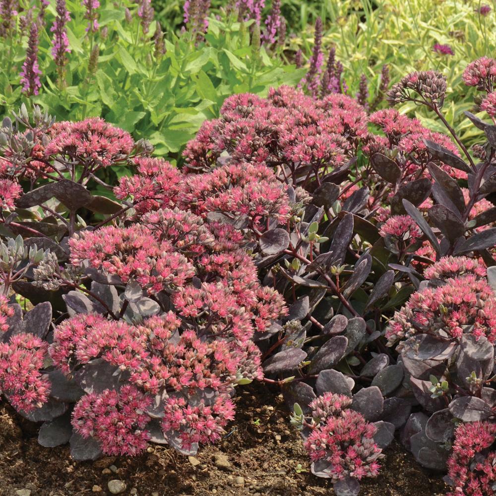 Sédum hybride 'Dazzleberry'