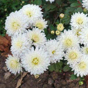 Chrysanthème d'automne 'My Favorite Blanc'