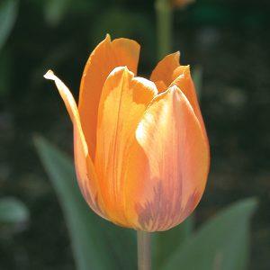 Tulipe 'Prinses Irene'