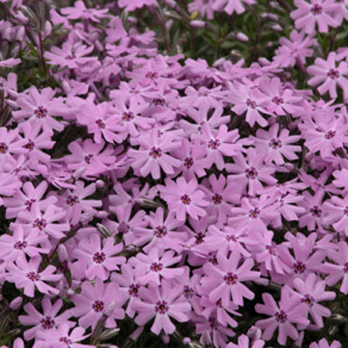 Phlox mousse 'Fort Hill'