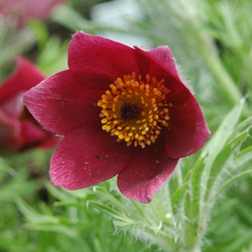 Pulsatille à fleurs rouges