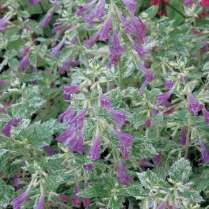 Calament à grandes fleurs 'Variegata'