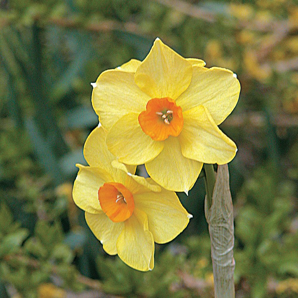Narcisse 'Scarlet Gem'