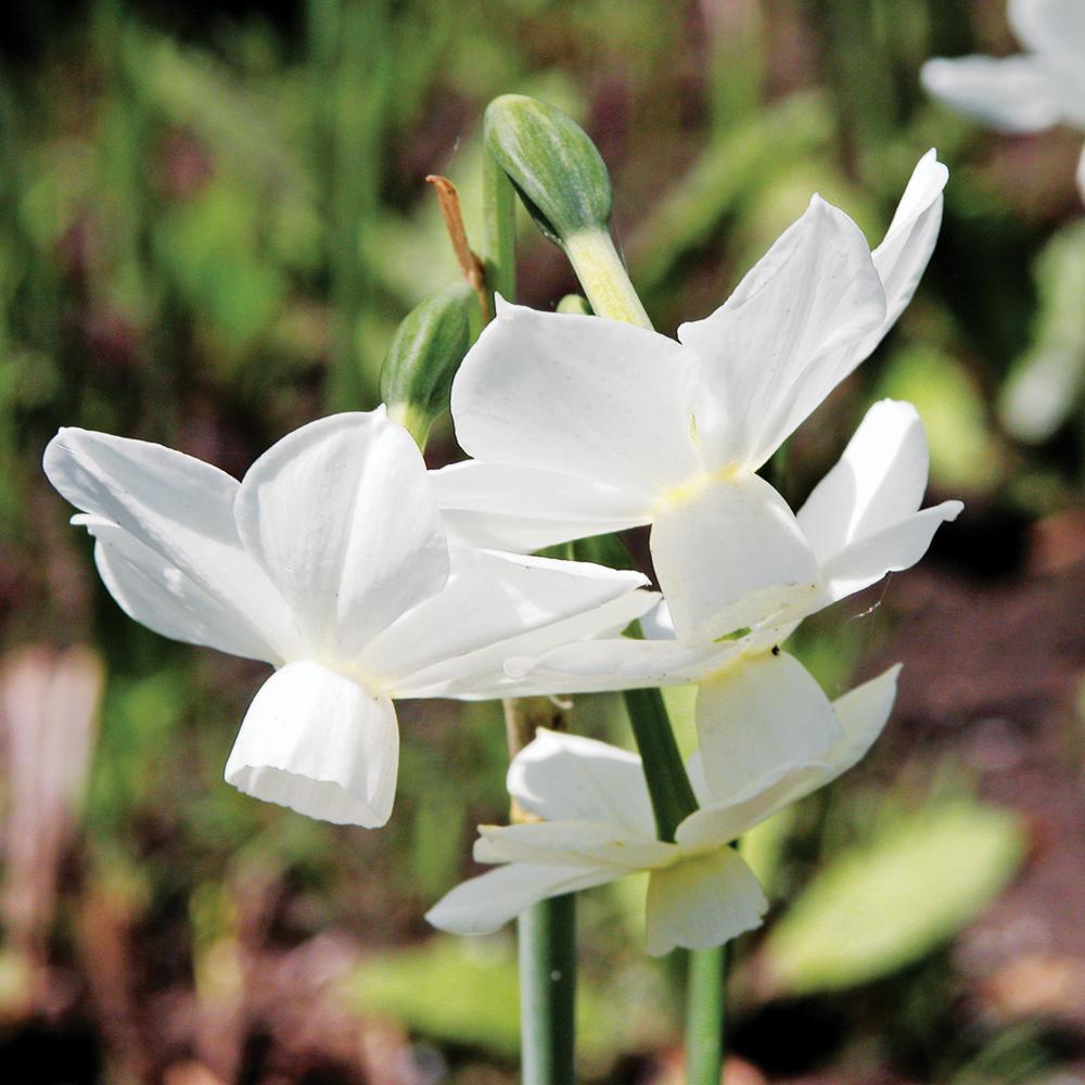 Narcisse 'Petrel'