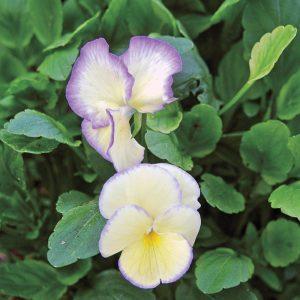 Violette 'Etain'