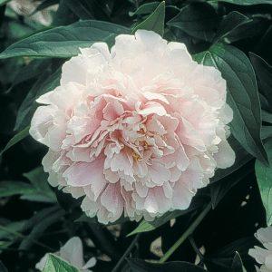 Pivoine 'Sarah Bernhardt'