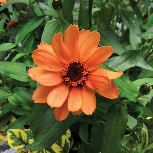 Zinnia 'Profusion Deep Apricot'