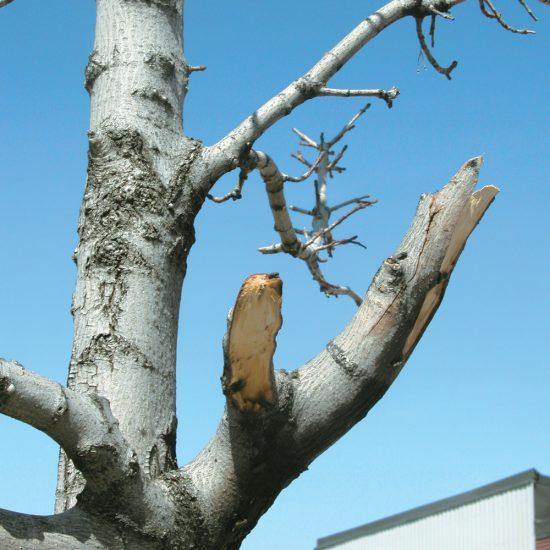 Comment sauver un arbre endommagé avec la bonne méthode de taille