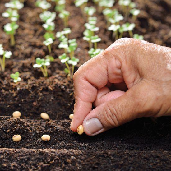 Comment faire des semis successifs