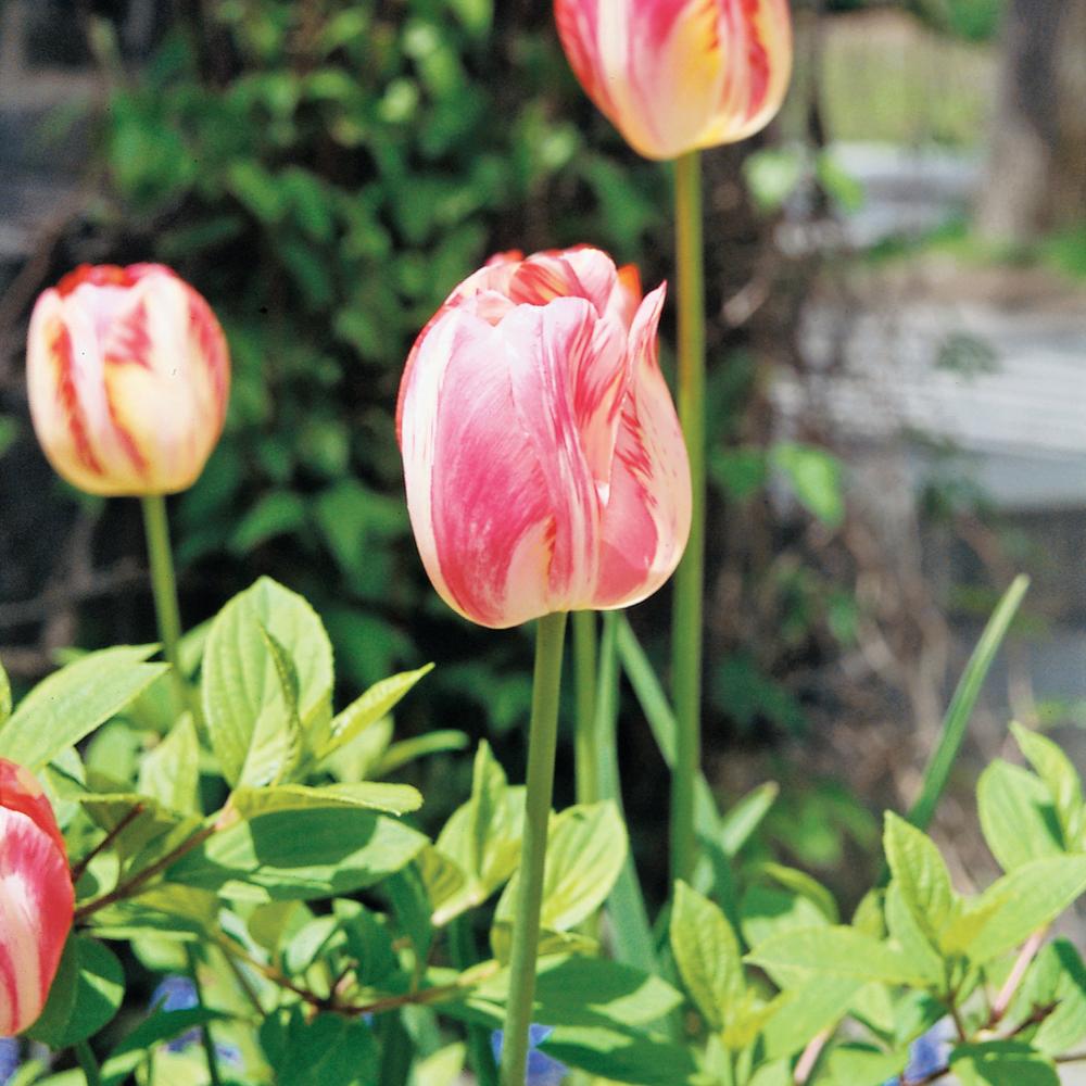 selection-de-fleurs-pour-une-platebande-printaniere01