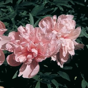 Pivoine officinale 'Rosea Superba'