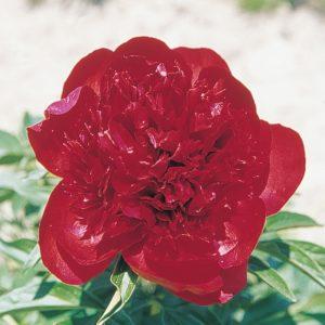 Pivoine hyb. herbacée 'Red Charm'