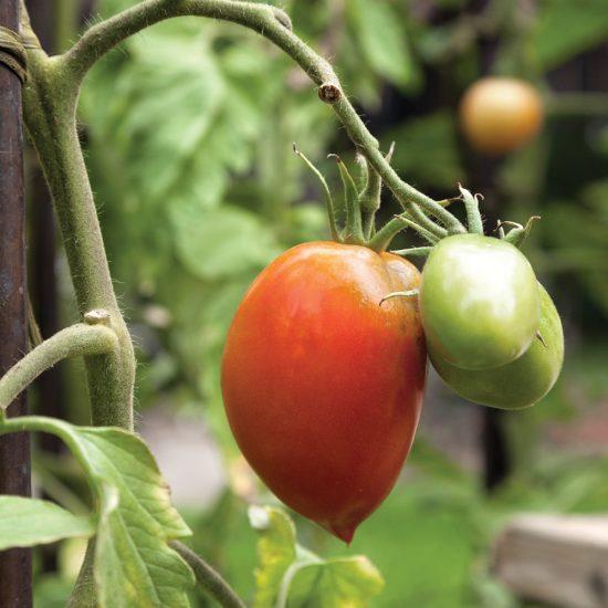 Comment réussir ses semis de tomates
