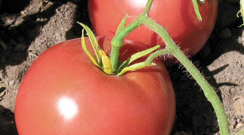 12 variétés de tomates à découvrir
