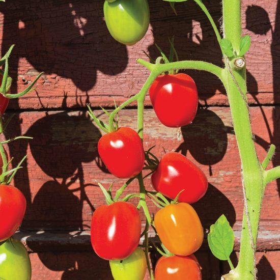 Tomate 'De Berao' (ou tomate 'Arbre')