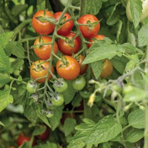 Tomate Profi-Frutti™ Cherry